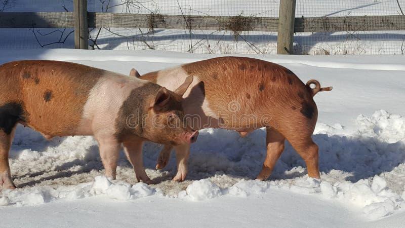 Cerdos en pluma del invierno imagen de archivo libre de regalías
