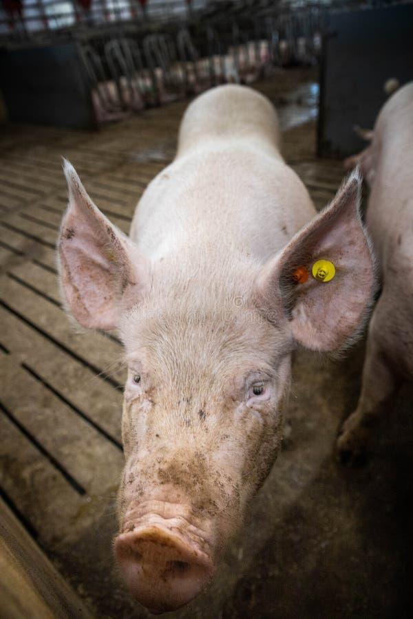 Cerdos grandes y gordos en una pocilga en un cerdo interior en un corral en Danmark cerdos en la parada Ciérrese encima de ojos y foto de archivo libre de regalías
