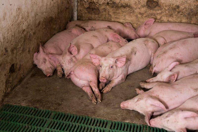Cerdos jovenes que duermen en granero fotografía de archivo libre de regalías