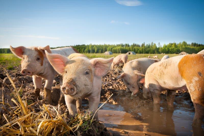 Cerdos lindos foto de archivo libre de regalías