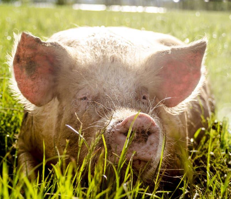 Download Cerdos orgánicos foto de archivo. Imagen de farming, relajación - 42430320