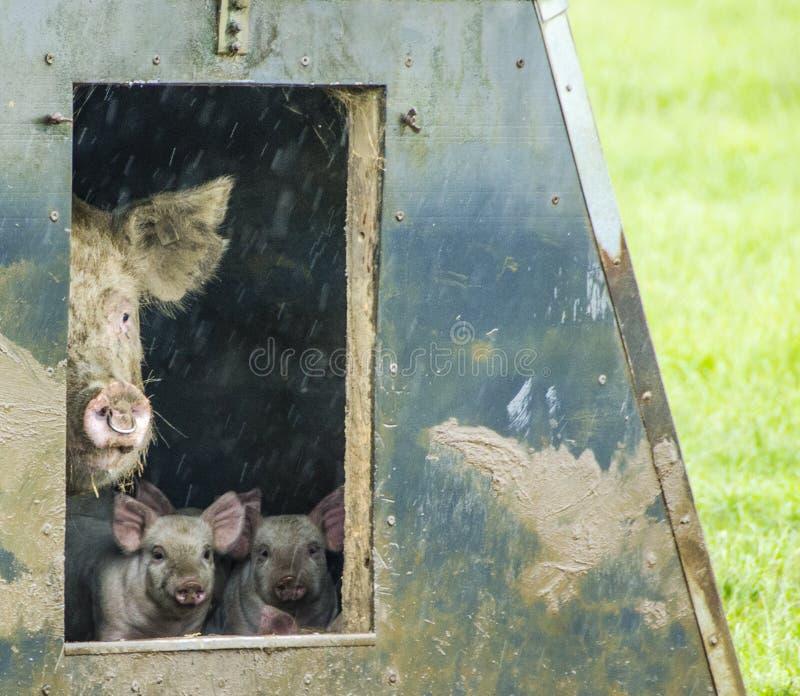 Download Cerdos orgánicos foto de archivo. Imagen de escena, imagen - 42430334