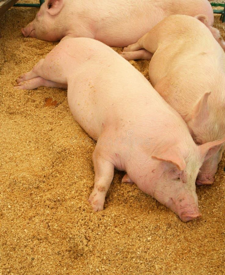 Cerdos que descansan sobre las virutas de madera foto de archivo libre de regalías