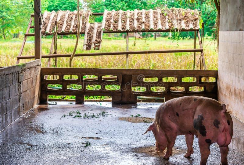 Cerdos rojos del criador en una granja fotografía de archivo libre de regalías