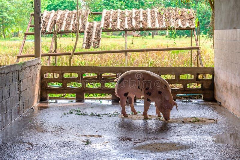 Cerdos rojos del criador en una granja fotografía de archivo