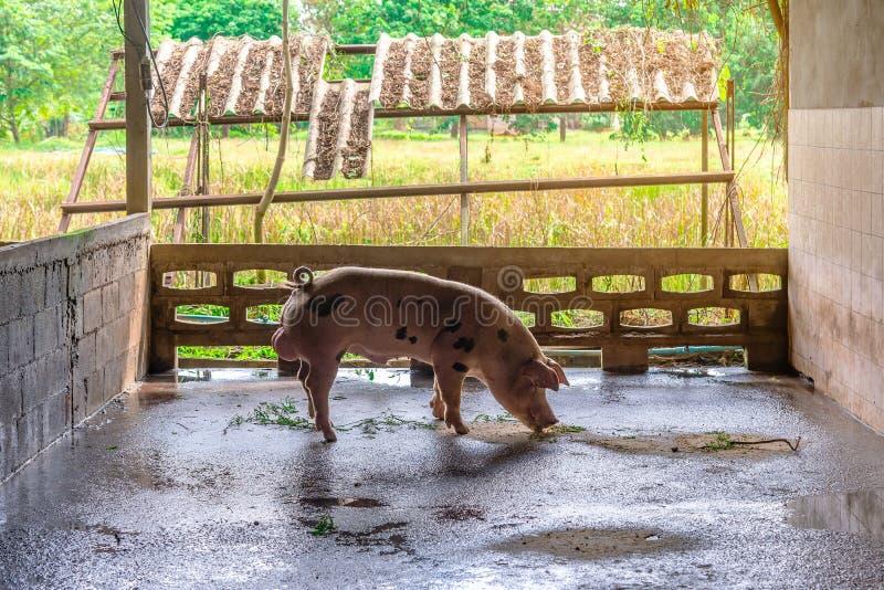Cerdos rojos del criador en una granja fotos de archivo libres de regalías