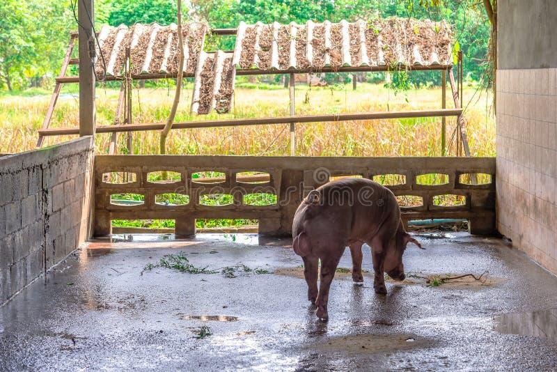 Cerdos rojos del criador en una granja imagen de archivo libre de regalías