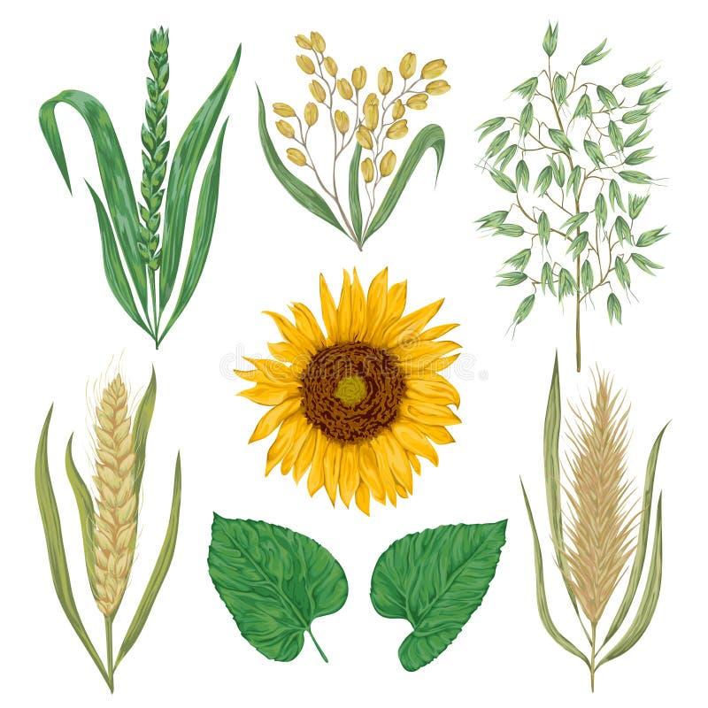 Cereais ajustados Girassol, cevada, trigo, centeio, arroz e aveia Elementos decorativos do design floral da coleção ilustração stock