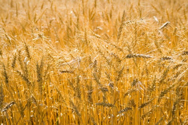 Cereais dourados do trigo imagens de stock royalty free