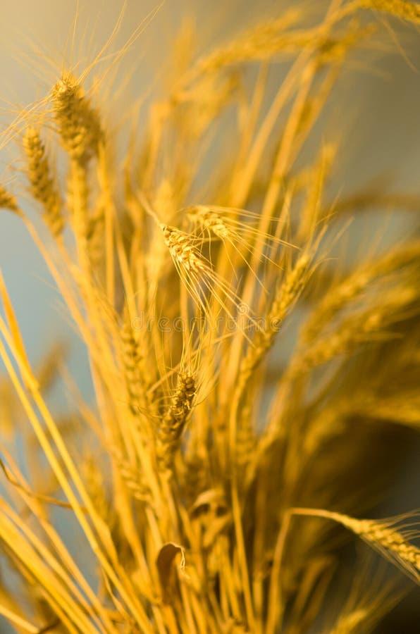 Cereal amarelo do trigo, morte da natureza imagem de stock