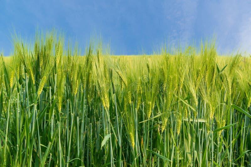 Cereal biológico imagenes de archivo