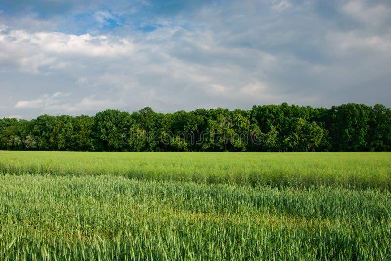 Cereal crescente verde, floresta e c?u cinzento foto de stock