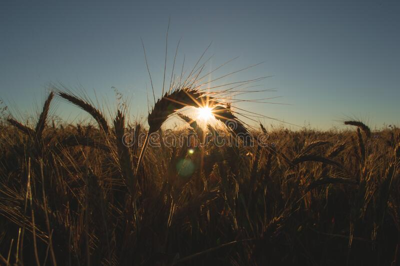 Cereal crop at dawn royalty free stock photo