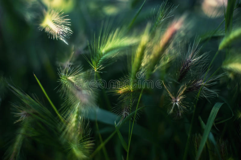 Cereal Crop Ears With Vibrant Green Color Grass Close Up Photo Taken On Summer Sunny Day. Fluffy Plant Ears Under Bright Sun Light With Weed Leafs Around royalty free stock photo