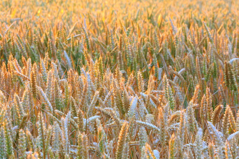 Cereal crops royalty free stock image