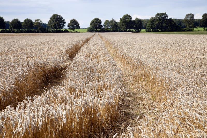 Cereal en la granja del ` s del granjero lista para la cosecha imágenes de archivo libres de regalías