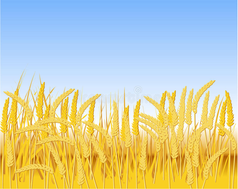 Cereal Field Stock Image