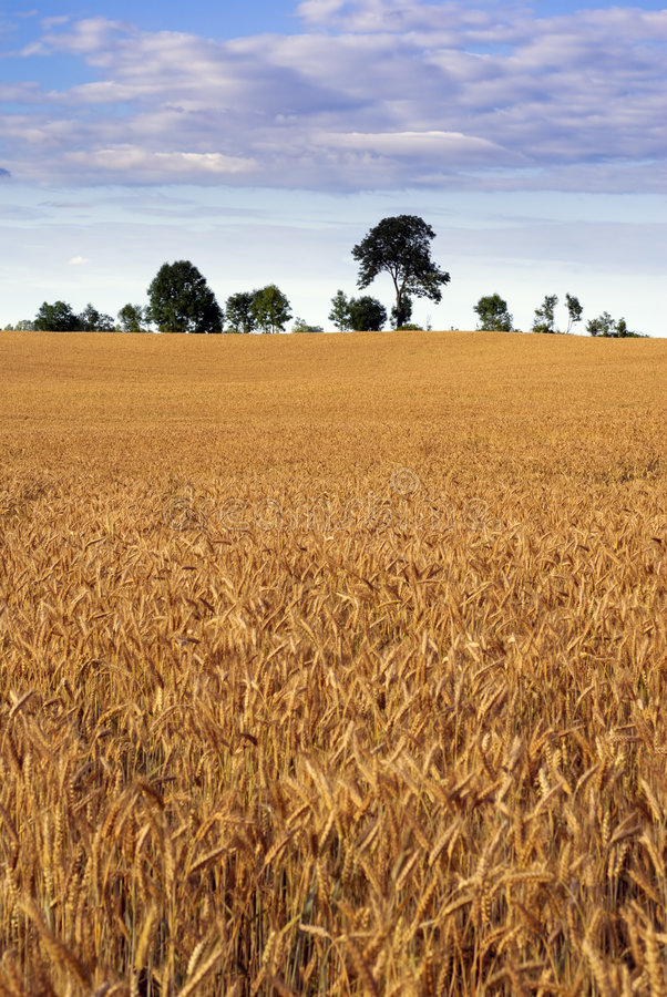 Cereal field. stock photography