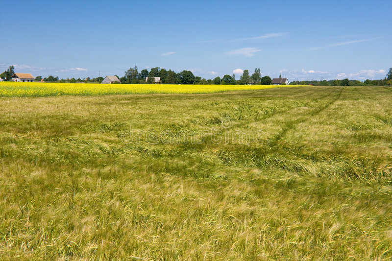 Cereal field royalty free stock photos