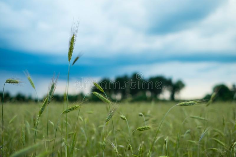 Field of bread before rain stock photography