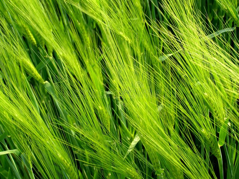 Cereal field plants stock images