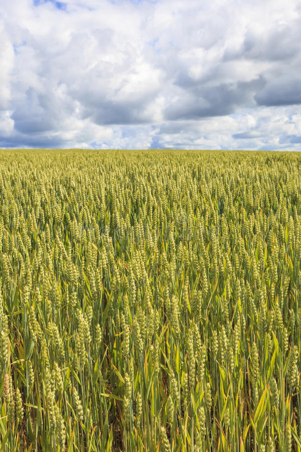 Cereal field. In the summer stock photography