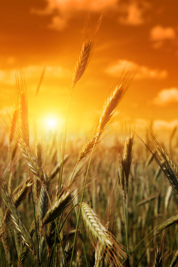 Cereal field at sunset. stock photography
