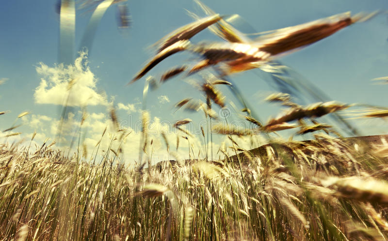Cereal field and wind. Wheat field blowing in the wind stock photography
