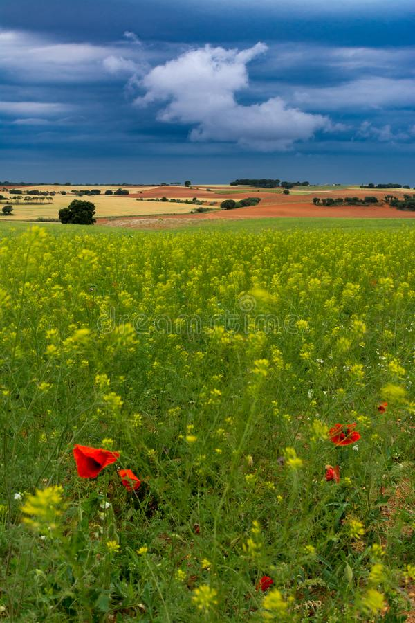 Cereal fields with poppies and other flowers. Cereal and wild coloured fields under blue stormy clouds, with some flowers at foreground stock photo