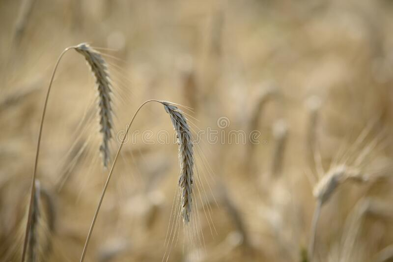 Cereal grains in field royalty free stock image