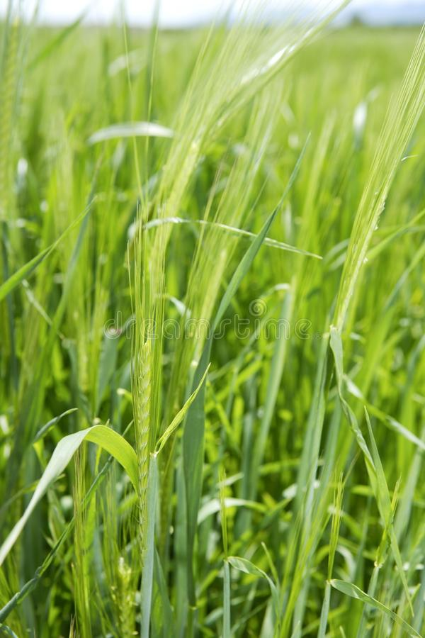Cereal green grain plants growing spikes on spring. Cereal green grain plants growing spikes spring grass royalty free stock photo