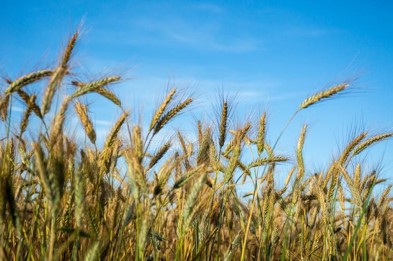 Cereal grows on the field. Ears of the cereal. Farmer, nature. Cereals on the sky background. Cereal grows field ears farmer nature cereals sky background stock photos