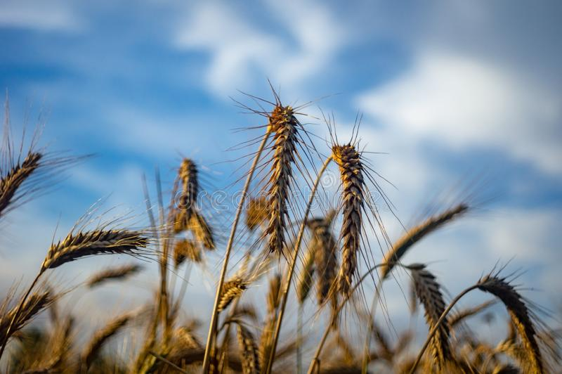 The cereal grows in the field. Mature ears of grain stock photography