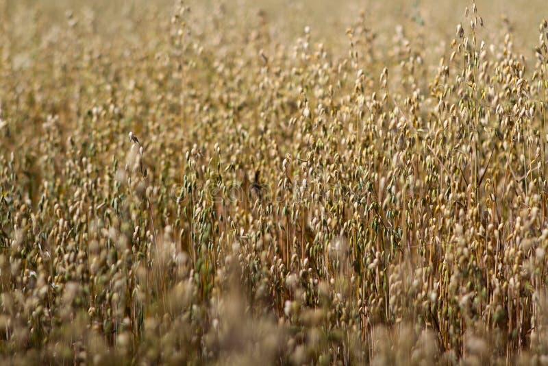 Cereal maduro, cierre maduro del cereal para arriba imágenes de archivo libres de regalías