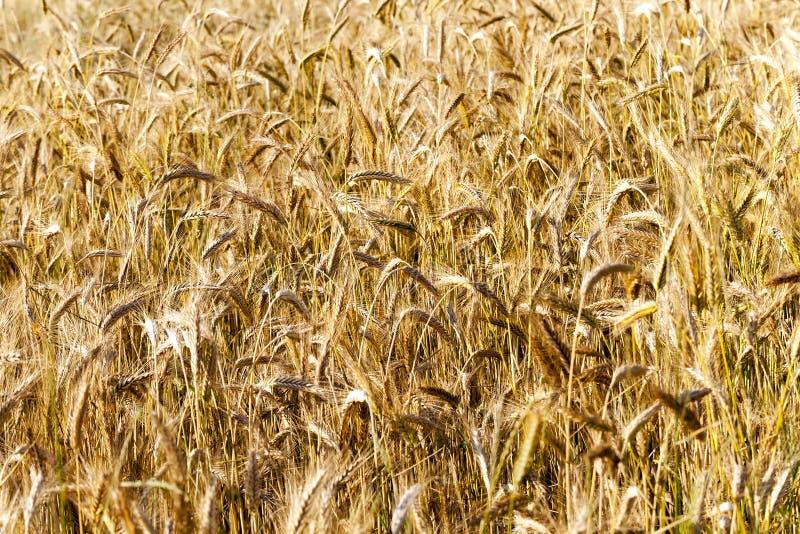 Cereal maduro Primer fotos de archivo