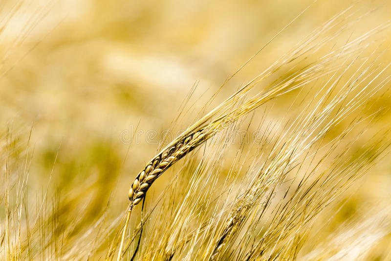 Cereal maduro, primer imagen de archivo