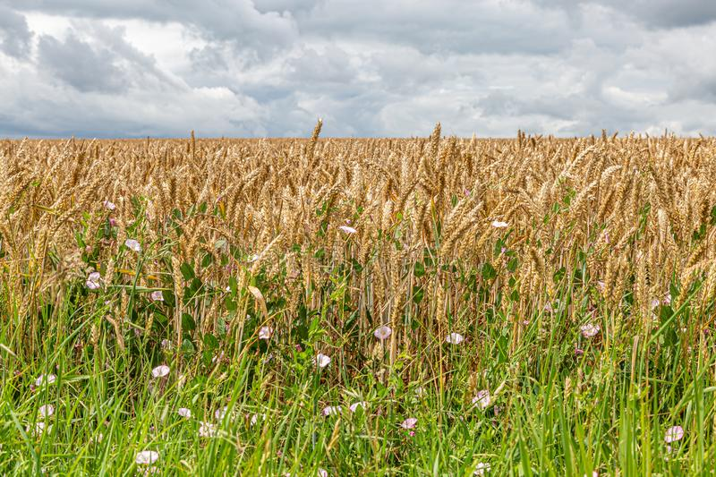 Cereal Plants royalty free stock image