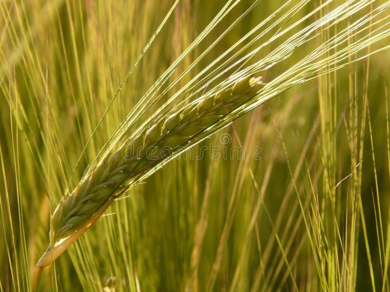 Cereal Verde Domínio Público Cc0 Imagem