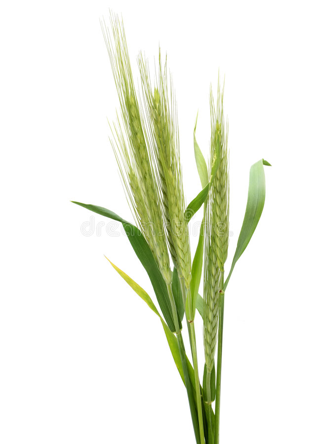 cereale黑麦secale 免版税库存图片