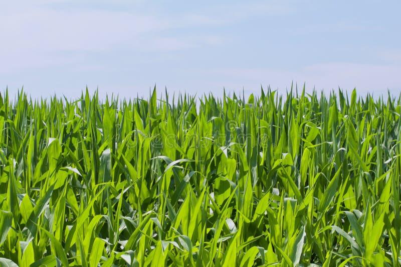 Cereale alto diritto fotografia stock libera da diritti