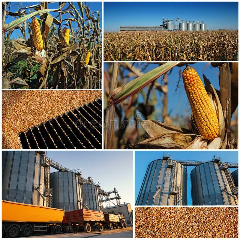 Cereale che cresce e che raccoglie - collage immagine stock
