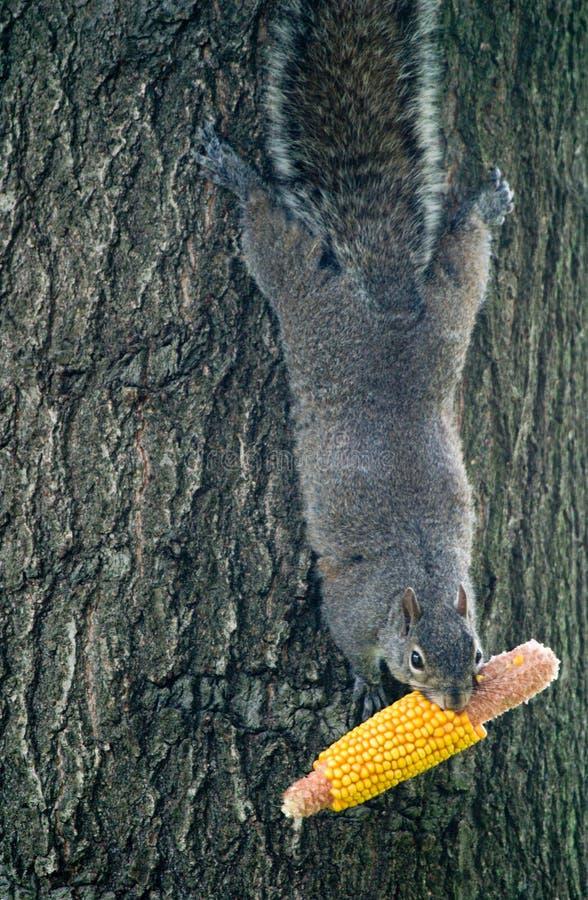 Cereale della holding dello scoiattolo fotografia stock