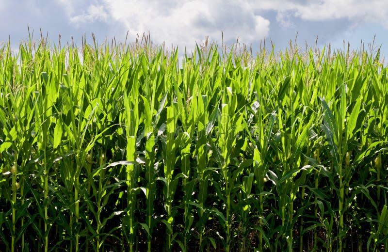 Cereale di Tassled immagine stock