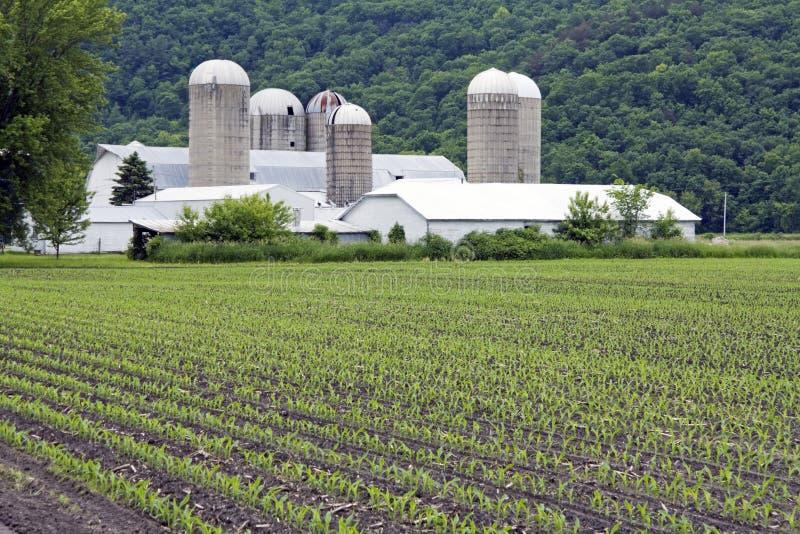 Cereale in giugno immagine stock