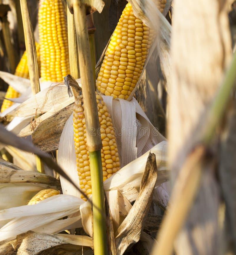 cereale marcio immagini stock libere da diritti