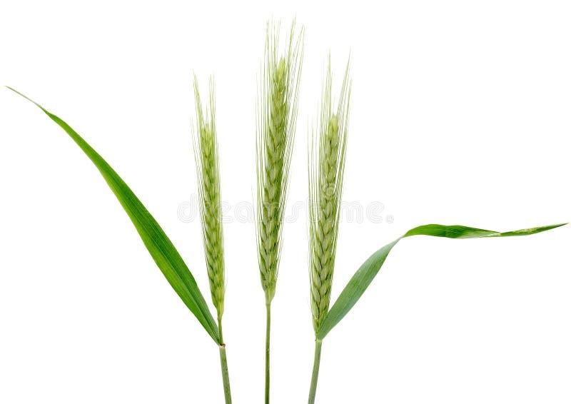 cereale secale σίκαλης στοκ εικόνα