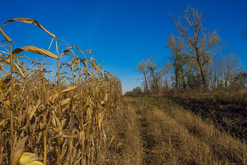 Cereale sul campo di autunno fotografia stock