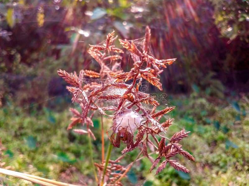 Cereales de oro con la araña ocultada fotos de archivo