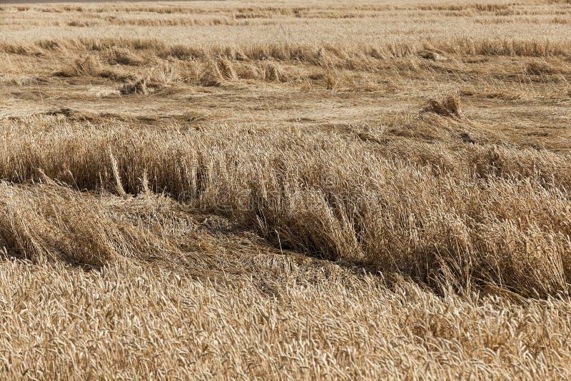 Cereales del campo de granja foto de archivo