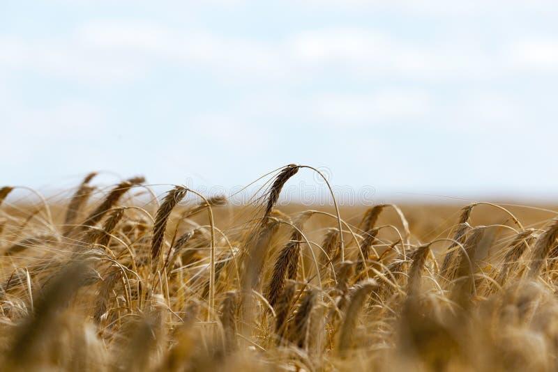 Cereales del campo de granja imagen de archivo libre de regalías